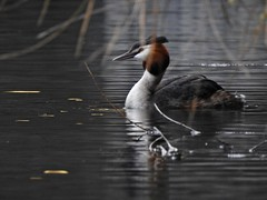 Great Crested Grebe (LouisaHocking) Tags: waterfowl cardiff nature wales southwales british bird duck wild wildlife water lake dock buteeastdock bute butetown greatcrestedgrebe grebe