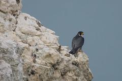 Peregrin -8503059 (seandarcy2) Tags: birds wild wildlife west highdown iow handheld coast cliffs peregrin birdsofprey falcon raptors