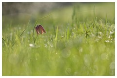 Pintade du matin!  DSC_4582_00002G (isabelle.bienfait) Tags: fritillairepintade fleur flower blume fleursauvage nature proxyphoto am ambiance composition nikond7200 isabellebienfait
