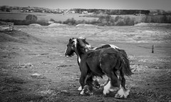 Cockfield Fell . (wayman2011) Tags: colinhart fujifilmxf50mmf2 fujifilmxt1 lightroom5 wayman2011 bwlandscapes mono rural horses pennines dales teesdale cockfieldfell cockfield countydurham uk