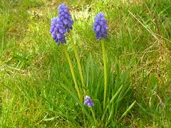 Muscari armeniacum (Jörg Paul Kaspari) Tags: muscari armeniacum muscariarmeniacum kelberg garten armenische traubenhyazinthe blüte flower bulb zwiebelpflanze frühling spring azurblau violettblau