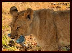 YOUNG LION CUB (Panthera leo)....MASAI MARA.....SEPT 2016 (M Z Malik) Tags: nikon d3x 200400mm14afs kenya africa safari wildlife masaimara keekoroklodge exoticafricanwildlife exoticafricancats flickrbigcats leo lioncubs