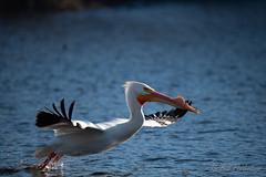 20190408-DSC_7347.jpg (GrandView Virtual, LLC - Bill Pohlmann) Tags: bird americanwhitepelican wisconsin wildlife waterfowl stcroixriver northhudsonwi