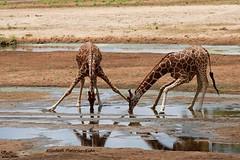 4J7A0266_Girafes réticulées (Puce55-Elisabeth,) Tags: girafes animal nature wildlife kenya samburu