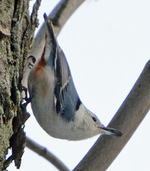 White-breasted Nuthatch with a sunflower seed (ctberney) Tags: whitebreastednuthatch sittacarolinensis bird small blue sunflower seed beak tree maple neighborhood winter birdwatching iwouldhavetakenmorephotosbutstoppedtotalktothreedifferentneighbours nature canada ontario