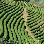 Tea plantations around Mae Salong (Northern Thailand 2018) thumbnail