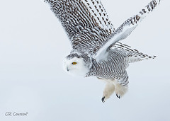 Snowy Owl (CR Courson) Tags: owl owls snowyowl birds birdphotography birdsinflight birdsofprey raptors nikon naturephotography nature crcourson chuckcourson