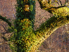 Ferns, mosses & ivy on oak, Glasdrum National Nature Reserve (Niall Corbet) Tags: scotland argyll glasdrum nationalnaturereserve nnr fern oak quercus moss green