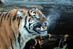 sumatran tiger Burgerszoo 094A0770 (j.a.kok) Tags: animal asia azie tijger tiger burgerszoo burgerzoo mammal zoogdier dier predator sumatraansetijger sumatrantiger sumatra pantheratigrissumatrae