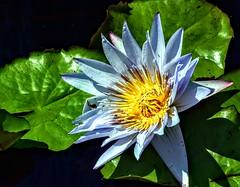 Blue Pond Flower (pmorris73) Tags: arboretum pennstateuniversity statecollege pennsylvania century 2ca2619 3ca2719 4ca2819 5cb0119 6cb0819 7cb2219 8cc1019
