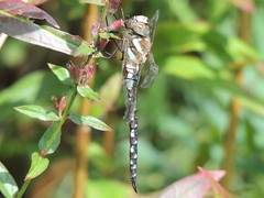 Hanging Around (Kevin Pendragon) Tags: dragonfly tyntesfield summer hot heat gardens colours blue black green long body tail wings insect nature naturephotography