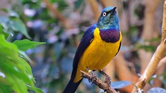 Königsglanzstar (Sanseira) Tags: zoo augsburg vogel tropenhalle königsglanzstar