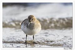 Jours de grève : face à face ! (C. OTTIE et J-Y KERMORVANT) Tags: nature animaux oiseaux limicole bécasseau bécasseauvariable finistère paysbigouden bretagne france