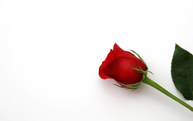 Обои обои, роза, лепестки, бутон картинки на рабочий стол, раздел цветы - скачать