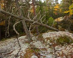 Tiveden Nationalpark Höst IX (Gustaf_E) Tags: autumn forest höst landscape landskap morgon nationalpark pine pines silvertall skog sverige sweden tall tiveden tivedennationalpark woods