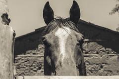 Bojack Horse (bono300vox) Tags: horse country campo caballo portrait animal blackwhite sad