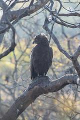 Brown Snake Eagle (kinta.beaver@btinternet.com) Tags: brownsnakeeagle