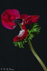 Anémone 07 (letexierpatrick) Tags: fleur fleurs flowers flower floraison nature fondnoir colors couleurs couleur rouge anémone nikond7000 nikon botanique explore france europe