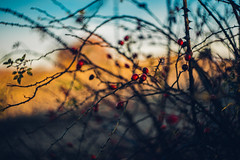 where the speechless unite in a silent accord I (culuthilwen) Tags: sonya99 sonyalpha99 sonysti helios44m6 helios fullframe vintagelens berries winter bokeh depthoffield nature light red dof vscofilm00 blurry branches 58mm f2 m42