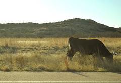 Grazing by the road (radargeek) Tags: oklahoma wichitamountains wildlife reserve february 2019 driving cattle longhorn wichitamountainswildliferefuge grass field