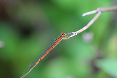 IMG_9234 (redfish1957) Tags: macro damselfly nature insects