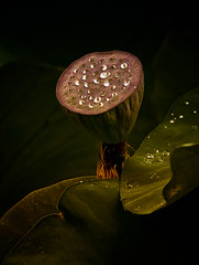 Pod and Water Drops (Rod Waddington) Tags: china chinese yunnan kunming pod water drops leaves nature flower lotus happyplanet asiafavorites