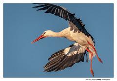 White Stork (Ignacio Ferre) Tags: ciconiaciconia ciconia cigüeñablanca cigüeña stork whitestork ave bird pájaro animal nikon naturaleza nature