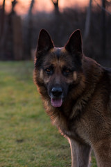 German shepherd dog (csongorfuzesi) Tags: dog pet animal 50mm sunset eyes germanshepherddog