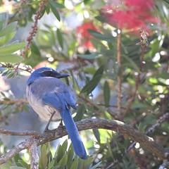 California Scrub Jay #3 (MJ Harbey) Tags: bird jay scrubjay californiascrubjay aphelocomacalifornica animalia aves passeriformes corvidae pacificgrove monterey california usa nikon d3300 nikond3300 trees branches