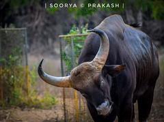 Manly 😍 (sooryaprakparthiban) Tags: wildlifephotography wildlife therock ox bull manly rage furious nikond5300 nikon d5300
