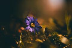 purple (_andrea-) Tags: sony a7m2 sonyilce7m fe90mmf28macrogoss makro lowpov springflowers dof moodytones bokehs beautifullight