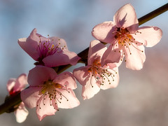 Almond Blossoms 1 (optimalfocusphotography) Tags: northerncalifornia bokeh spring landscape flowers nature flower backlight macro almondtrees orchard california usa