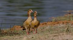 Egyptian Goose - Nijlgans -8937 (Theo Locher) Tags: alopochenaegyptiaca birds egyptiangoose nijlgans oiseaux vogels vögel southafrica zuidafrika krugernationalpark kruger copyrighttheolocher