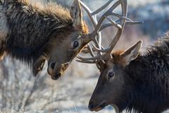 Springtime Sparring (RkyMtnGrl) Tags: wildlife nature elk bull sparring springtime spring drygulchrd estespark colorado 2019