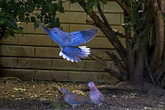 IMG_6539 (pelserk) Tags: three turtledove power dove tail fly outdoor off flock pigeon natural bird animal wing flight nature