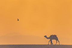0952 The Opposite Directions (Hrvoje Simich - gaZZda) Tags: outdoors animals bird camel people man orange sunrise morning varanasi india asia indian nikon nikond750 sigma150500563 gazzda hrvojesimich