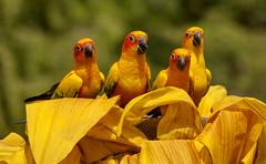 Vogelpark Walsrode, ein echtes Erlebnis! (baerchen57) Tags: tiere animals vögel vogelpark walsrode gelb farben sittiche papageien goldsittich