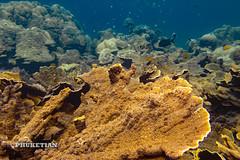 Coral reef of the Surin islands, Thailand, Indian Ocean (Phuketian.S) Tags: fsh coral reef andaman indian ocean god yellow blue water underwater diving scuba freediving nature дайвинг фридайвинг подводный подводное фото триггер рыба риф кораллы море океан сурин surin thailand phuketian deep animal