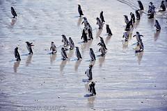b a n d a d a (Hard to be a girl.) Tags: pingüinos playa costa sur puntatombo chubut patagonia mar atlántico penguins beach coast south sea atlantic shore