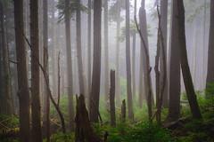 Foggy Forest (kephart_kyle) Tags: 2018 cannonbeach compellingimaging ecolastatepark fineartlandscapephotography fog july kylekephart oregoncoast summer trees