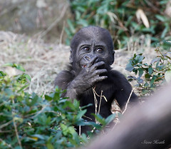 Stuff it in your mouth before mom sees you! (rsheath76) Tags: dallaszoo gorillas baby westernlowlandgorilla faces