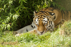 WHF The Big Cat Sanctuary: Amasia (Amur Tiger) (Jasmine'sCamera) Tags: whf wildlifeheritagefoundation bigcatsanctuary bigcat bigcats cats feline eye nose whisker tail fierce teeth siberian siberiantiger tiger amur amurtiger