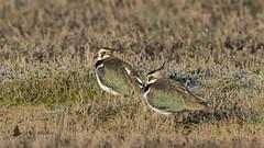 Avefría (Vanellus vanellus) (jsnchezyage) Tags: avefría vanellusvanellus ave pájaro bird birding birdwatching ornithology beak feather