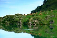 Baignade en montagne (jpto_55) Tags: etang etangdayes reflet vache baignade paysage fuji fujifilm xe1 fujixf1855mmf284r ariège france pyrénées
