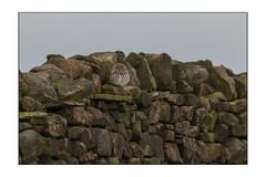 Shelter (Alan-Taylor) Tags: littleowl athenenoctua stonewall drystonewall yorkshire yorkshiredales bird birdofprey uk