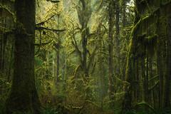 Emerging Alien (D Breezy - davidthompsonphotography.com) Tags: rainforest hohrainforest pnw pacificnorthwest green moss mood rain framing alien tree treestructure