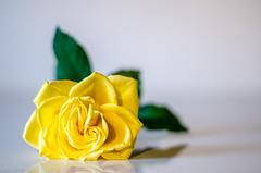 Yellow Rose (BGDL) Tags: lightroomcc nikond7000 bgdl niftyfifty nikkor50mm118gnikon rose reflection roseisarose smileonsaturday