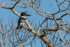 Lovely lady (ChicagoBob46) Tags: beltedkingfisher kingfisher bird bunchebeach fortmyers florida nature wildlife ngc coth5 npc naturethroughthelens
