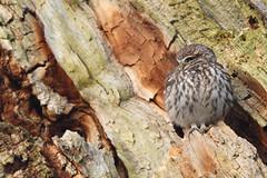 Little Owl (Athene noctua) (Wildlife Photography by Matt Latham) Tags: athenenoctua littleowl owl raptor nocturnal birdofprey wildlifephotography wildlife naturephotography nature canon mattlatham