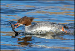 Merganser (Ed Sivon) Tags: america canon nature lasvegas wildlife wild western water southwest desert duck clarkcounty vegas flickr bird henderson nevada